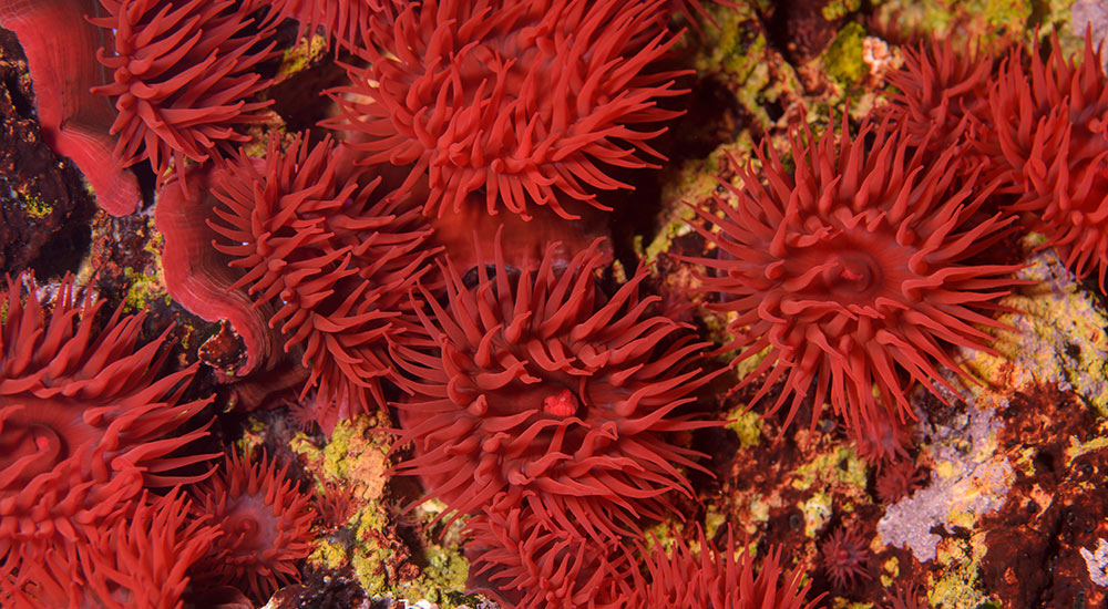 Red anenomes