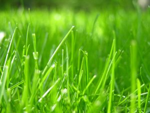 Image of green grass in closeup